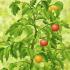 Game Thu hoạch cà chua